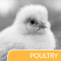 Poultry Applications